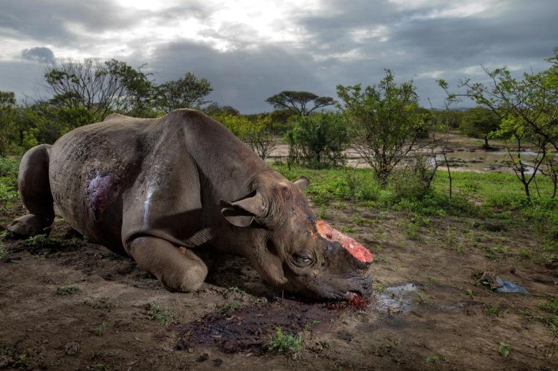 Lovci ubijejo tega črnega nosoroga zaradi njegovega rogu.